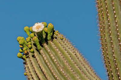 Usa, Arizona, Tucson, Saguaro National Poster by Peter Hawkins