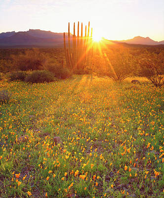 Usa, Arizona, Wildflowers And Cacti Poster by Jaynes Gallery