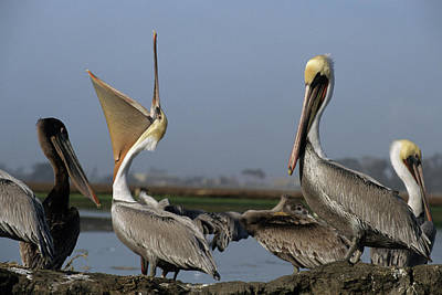 Usa, California, Brown Pelicans Poster