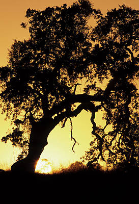 Usa, California, Oak Tree, Sunset Poster