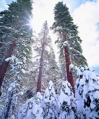 Usa, California, Snow-covered Red Fir Poster