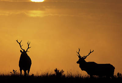 Usa, California, Sunset, Tule Elk Poster