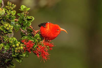 Usa, Hawaii, Hakalau Forest National Poster