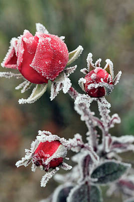 Usa, Oregon Roses Draped With Frost Poster