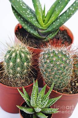 Varied Mini Cactus In Pots Poster by Sami Sarkis