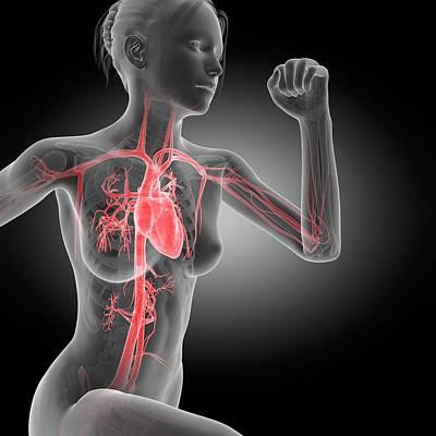 Vascular System Of Jogger Poster