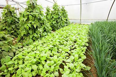 Vegetables Growing In Polytunnels Poster