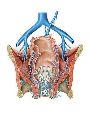 Venous System Of The Pelvis Poster by Asklepios Medical Atlas