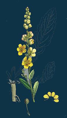 Verbascum Blattaria Moth Mullein Poster