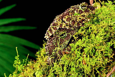 Vietnamese Mossy Frog, Theloderma Poster