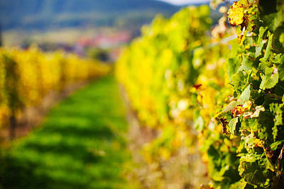 Vineyards In Autumn, Mittelbergheim Poster