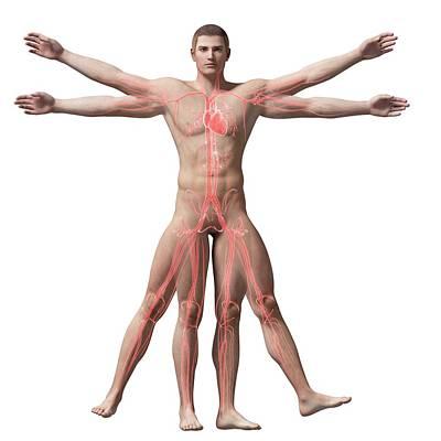 Vitruvian Man Veins Poster