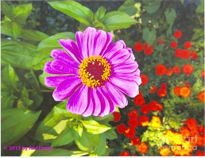 Warm Pink Zinnia Poster by Rod Ismay