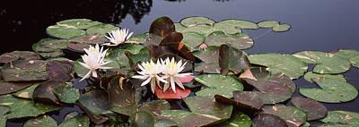 Water Lilies In A Pond, Sunken Garden Poster