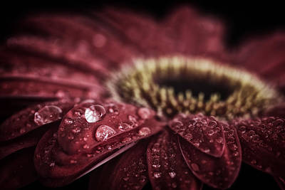 Waterdrops On A Gerbera Daisy Poster