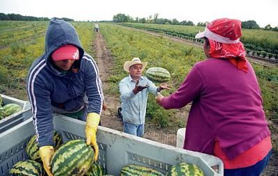 Watermelon Harvest Poster
