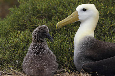Waved Albatross Guarding Young Chick Poster