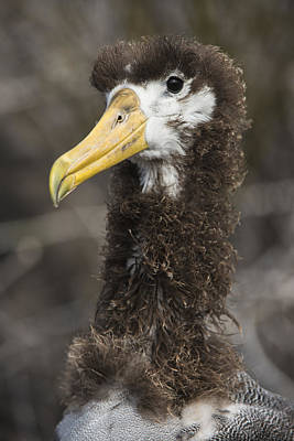 Waved Albatross Molting Juvenile Poster by Pete Oxford