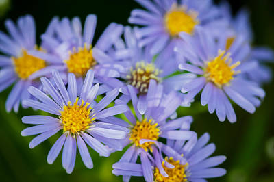Western Daisies Asters Glacier National Park  Poster by Rich Franco
