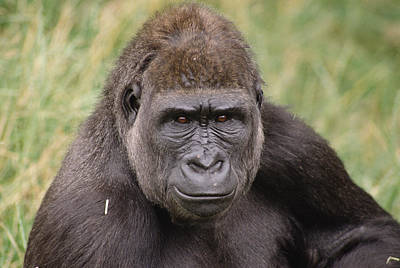 Western Lowland Gorilla Young Male Poster by Gerry Ellis