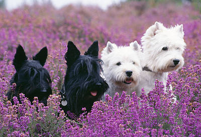 Westie And Scottie Dogs Poster