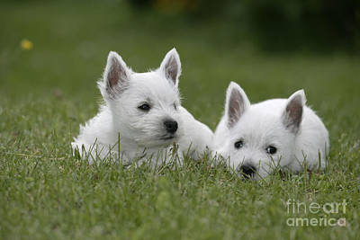 Westie Puppies Poster by Rolf Kopfle