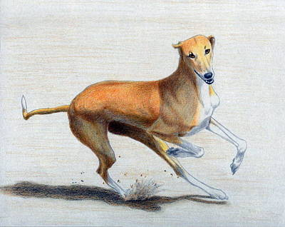 Whippet Dog Poster by Olde Time  Mercantile