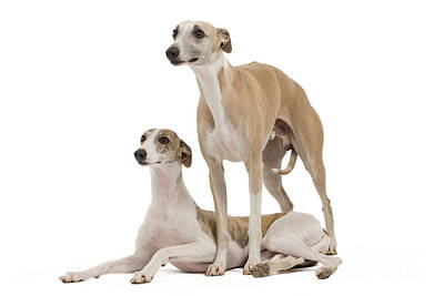 Whippets Poster