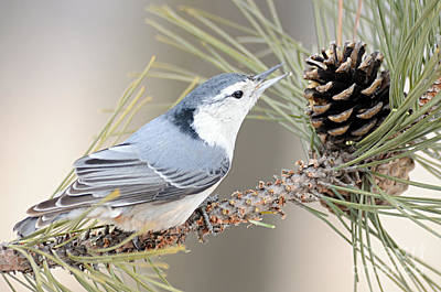 White Breasted Nuthatch Poster by Larry Ricker