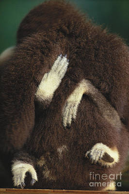 White-handed Gibbon Poster by Art Wolfe