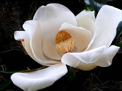 White Magnolia Poster by Yolanda Rodriguez