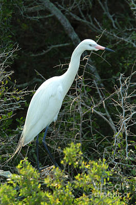 White Morph Of Reddish Egret Poster