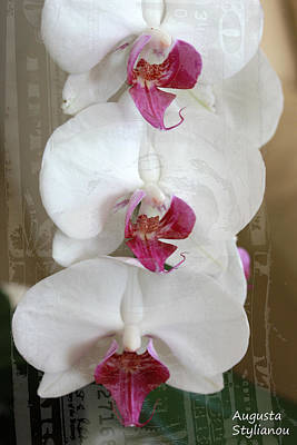 white Orchids Poster by Augusta Stylianou
