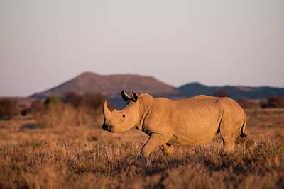 White Rhinoceros (ceratotherium Simum Poster