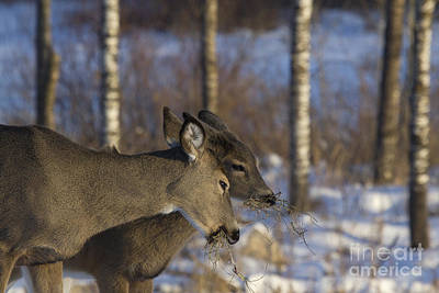 White-tailed Doe With Young Poster by Linda Freshwaters Arndt