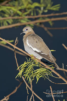 White-winged Dove Poster by Anthony Mercieca