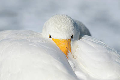 Whooper Swan Resting Poster by Dr P. Marazzi