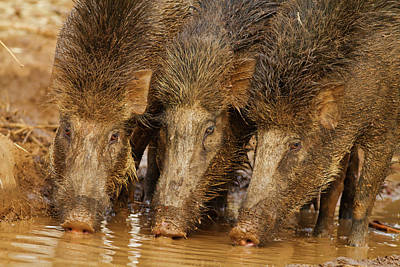 Wild Boars Drinking Water Poster
