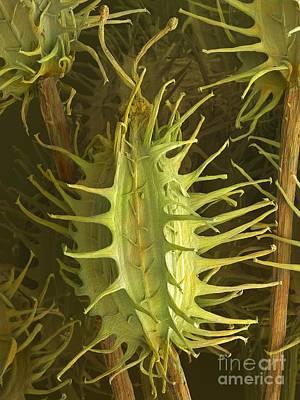 Wild Carrot Seeds Daucus Carota, Sem Poster