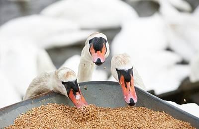 Wild Mute Swans Pinching Grain Poster