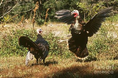 Wild Turkeys Fighting Poster by Art Wolfe