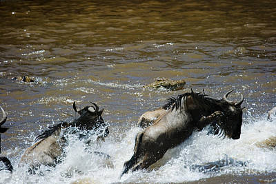 Wildebeest And Crocodile, Mara River Poster
