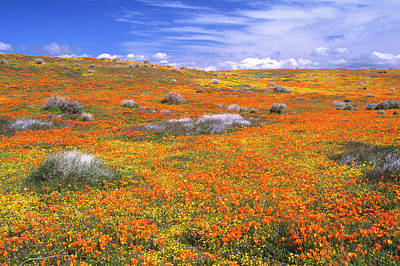 Wildflowers At The California Poppy Poster by John Alves