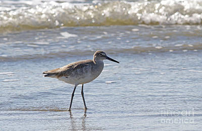 Willet Bird Wading In Ocean Surf Poster