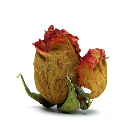 Wilted Rose Poster