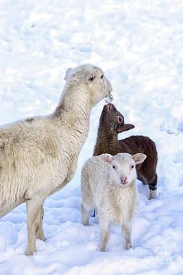 Winter Lambs And Ewe Poster