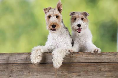 Wire Fox Terriers Poster by John Daniels