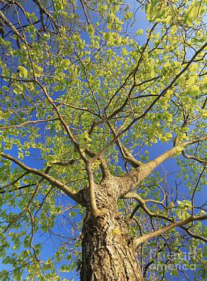 Wych Elm Tree Ulmus Glabra Poster
