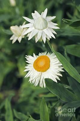 Xerochrysum Bracteatum Coco Poster by Dr. Keith Wheeler