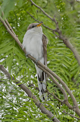 Yellow-billed Cuckoo Poster by Anthony Mercieca